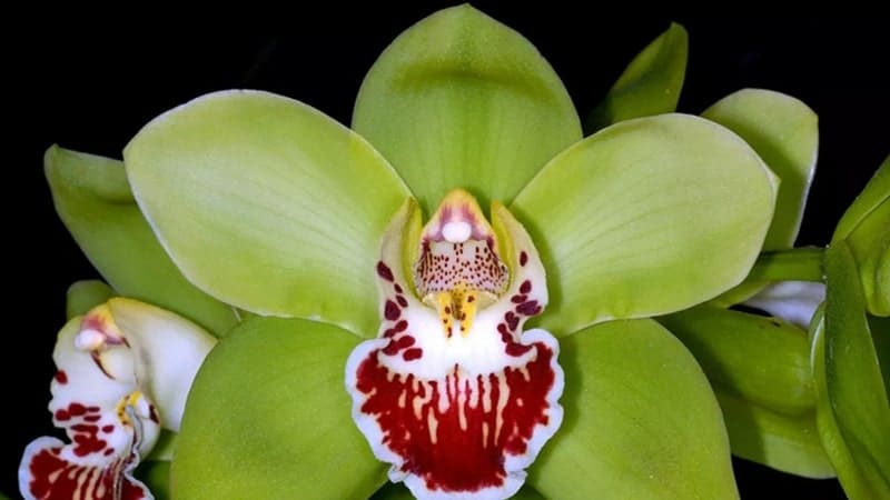 Bunga Langka di Dunia - Shenzen Nongke Orchid