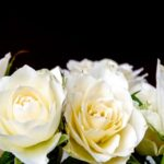 Bunga Mawar Putih yang Cantik - Mawar Putih