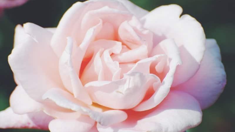 Bunga Mawar Putih yang Cantik - Mawar Alba