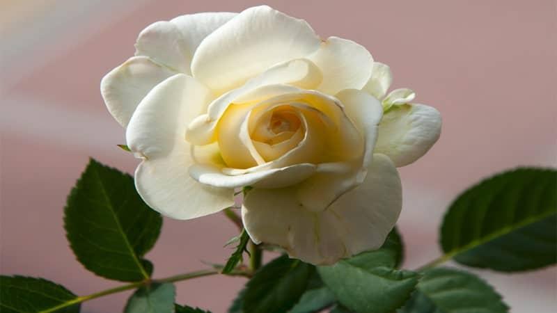 Bunga Mawar Putih yang Cantik - Tanaman Hias