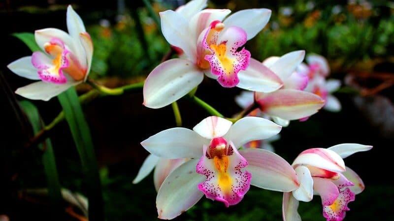 Jenis-Jenis Bunga Anggrek - Anggrek