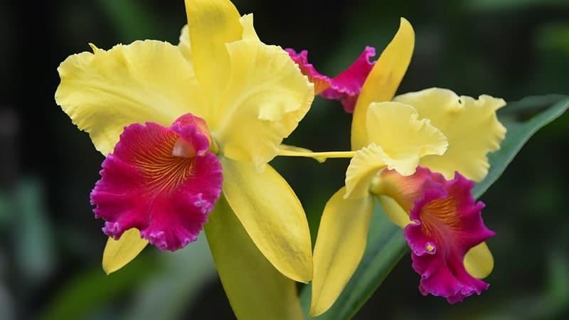 Jenis-Jenis Bunga Anggrek - Anggrek Cattleya