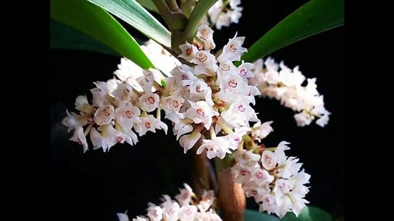 Jenis Jenis Bunga Anggrek Untuk Memperluas Wawasanmu Kepogaul
