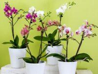 Bunga Anggrek - Anggrek di Pot