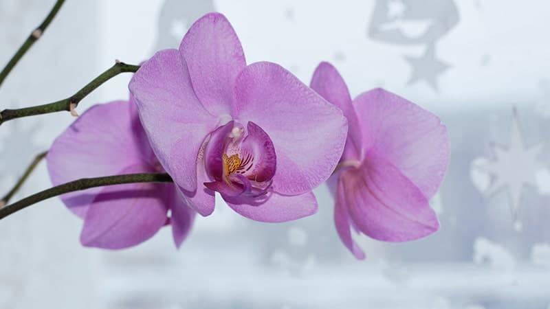 Bunga Anggrek - Setangkai Anggrek