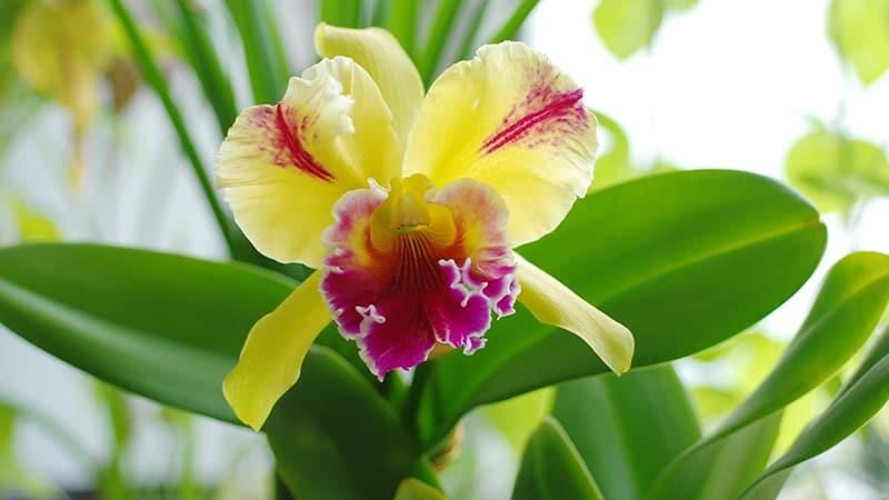 Bunga Anggrek - Anggrek Cattleya