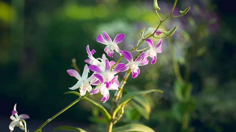 Bunga Anggrek - Anggrek Tanah