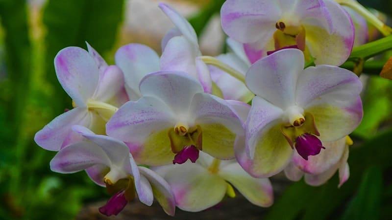 Bunga Anggrek - Anggrek Putih Ungu