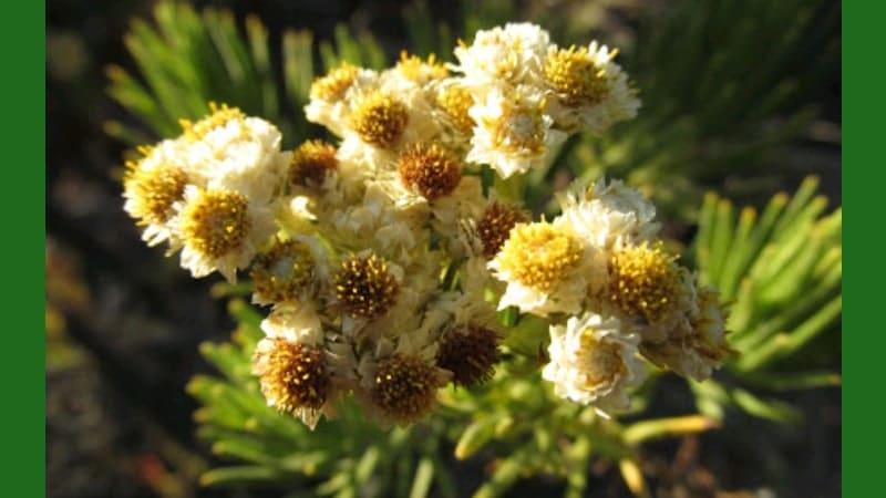 Bunga Langka di Dunia - Javanese Edelweiss