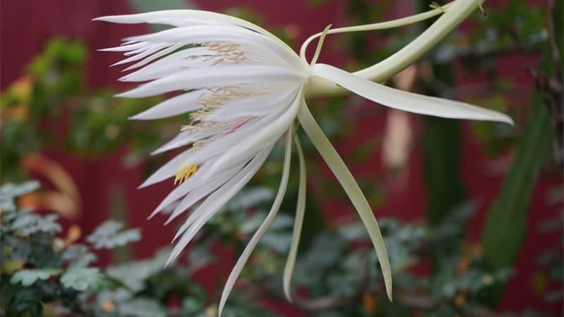 Bunga Langka di Dunia - Bunga Kadupul