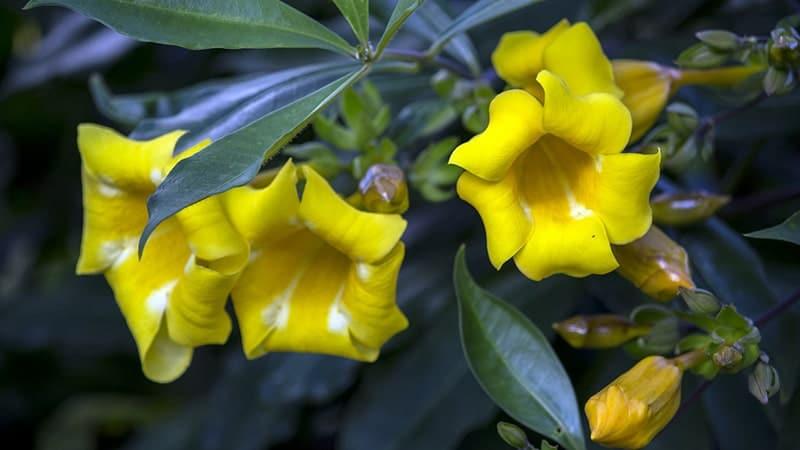 Jenis-Jenis Tanaman Hias - Bunga Alamanda