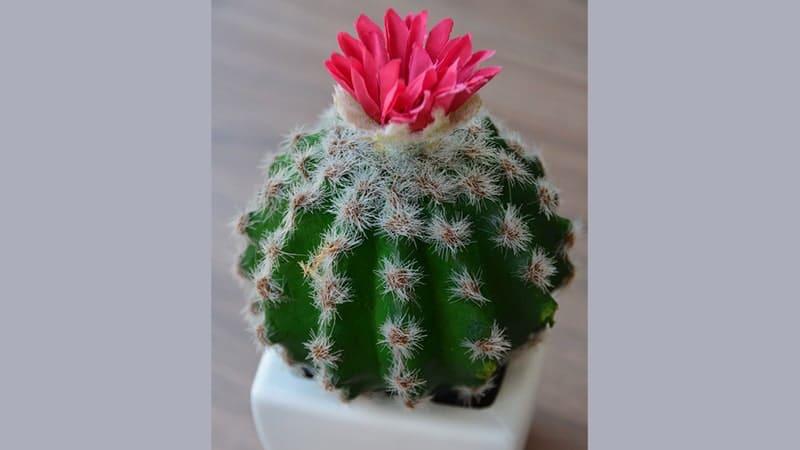 Jenis-Jenis Tanaman Hias - Ball Cactus