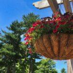 Jenis-Jenis Tanaman Hias Gantung - Bunga di Pot Gantung