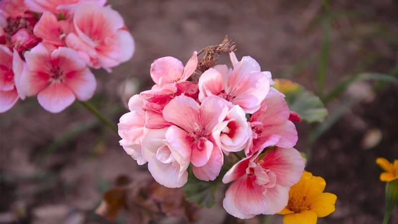 Jenis-Jenis Tanaman Hias Gantung - Bunga Begonia