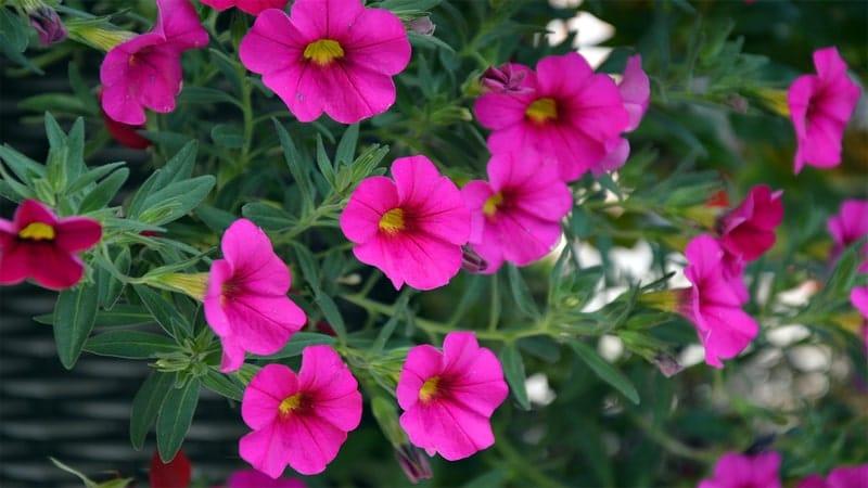 Jenis-Jenis Tanaman Hias Gantung - Bunga Petunia