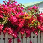 Jenis Tanaman Hias Outdoor - Bougenville