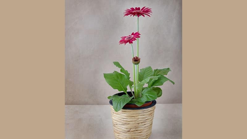 Jenis Tanaman Hias Indoor - Bunga Gerbera
