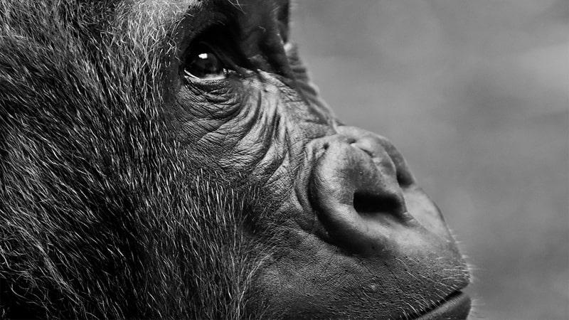 Hewan Langka di Indonesia - Primata