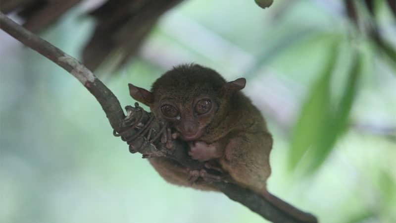 Hewan Langka di Indonesia - Tarsius Tersier
