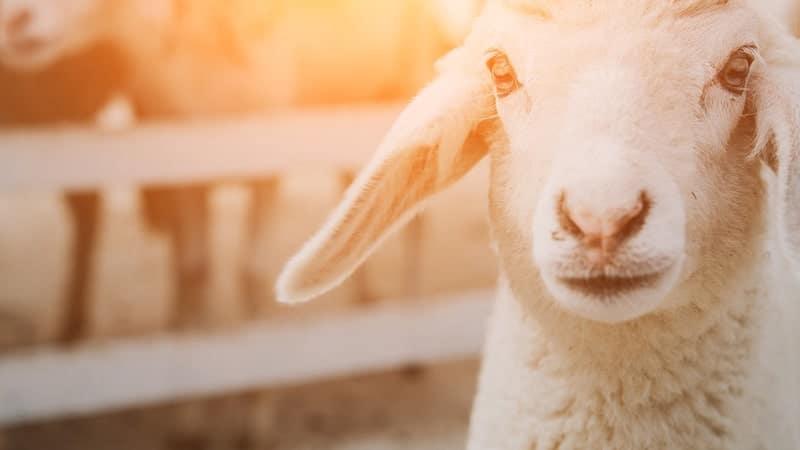 Kisah Nabi Ibrahim AS - Domba Putih