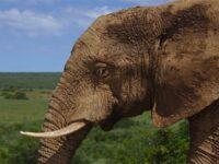 Hewan Terbesar di Dunia - Gajah
