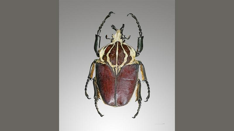 Hewan Terbesar di Dunia - Kumbang Goliath