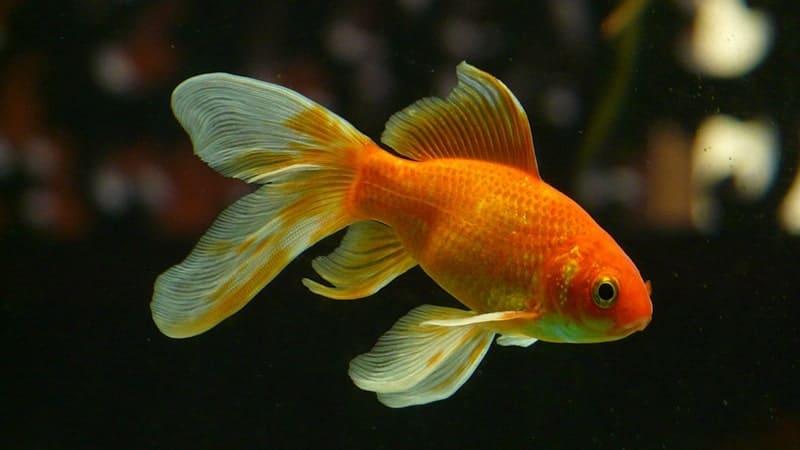 Cerita Rakyat Bawang Merah Bawang Putih - Ikan Mas