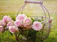Kata-Kata Bunga Mawar - Mawar Merah Muda