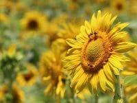 Kata-Kata Bunga Matahari - Bunga dan Lebah