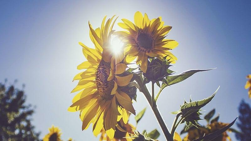 Kata-Kata Bunga Matahari - Sinar Matahari
