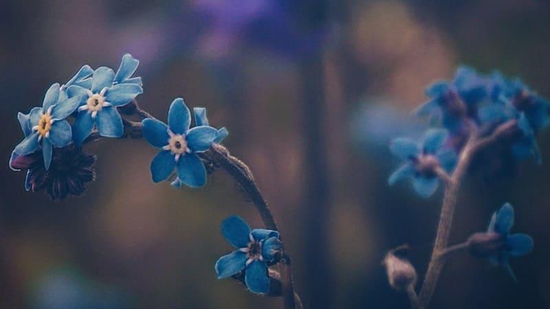 Bunga Forget Me Not