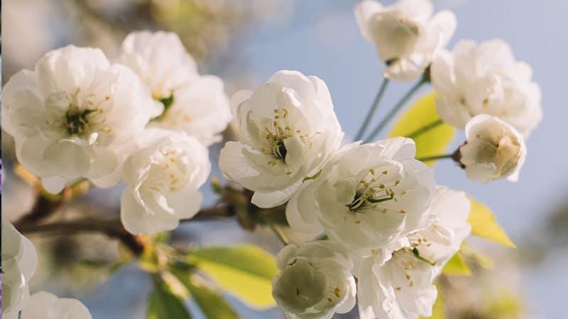 Cherry blossom putih