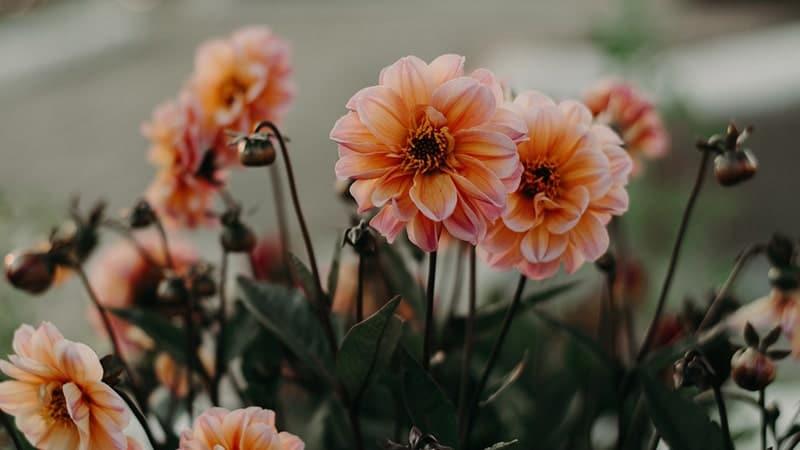 Kata-Kata Ikhlas Melepaskan Seseorang - Bunga Warna Peach