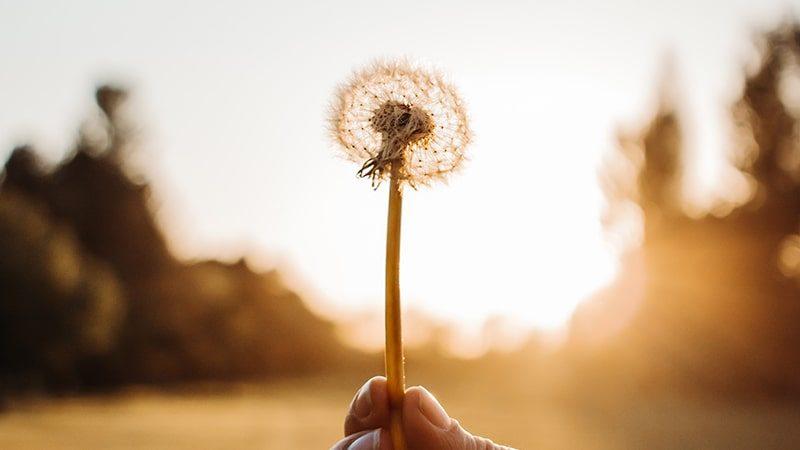 Kata Mutiara Mimpi dan Harapan - Bunga Dandelion